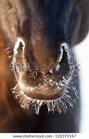 Black horse nose