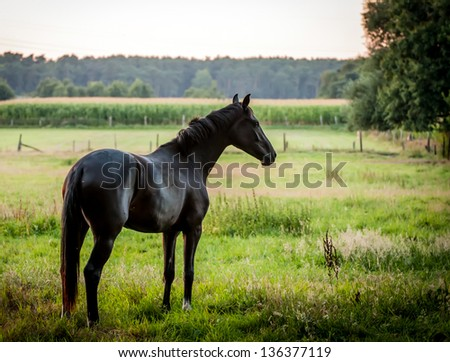 black horse on a meadow at dusk