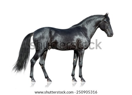 Black horse on white. Black horse isolated. Black horse isolated on white background.