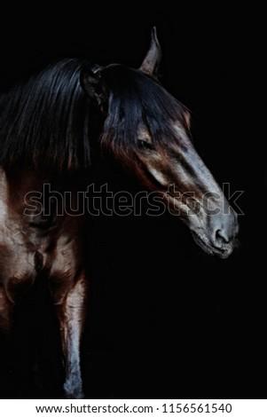 Black horse portrait isolated on black, Ukrainian horse.