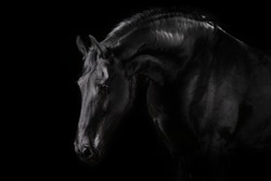 Black horse portrait on black background freisian breed