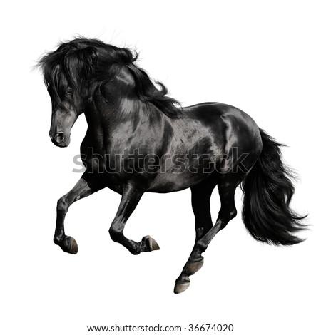 black horse pura raza espanola runs gallop isolated on white background