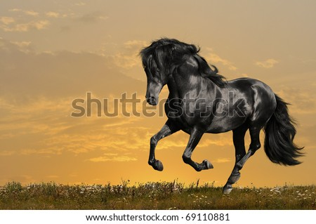 black horse runs gallop in sunset