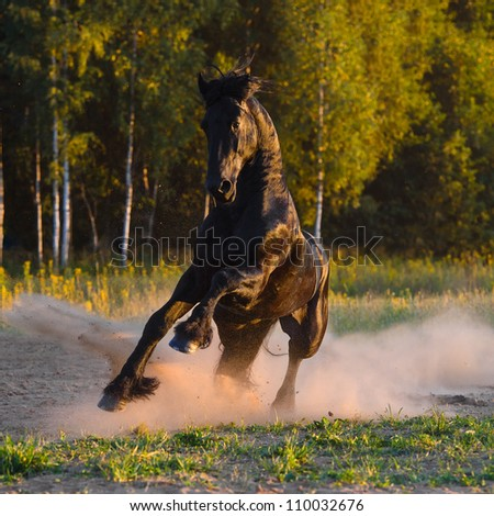 Black horse runs gallop in the sunset