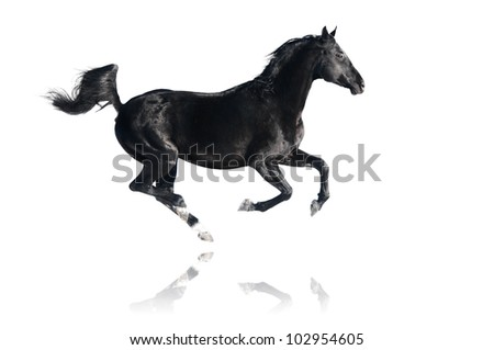 Black horse runs gallop, isolated on white background