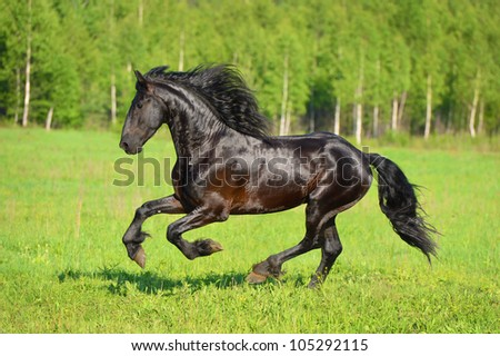 Black horse runs gallop on the meadow in summer