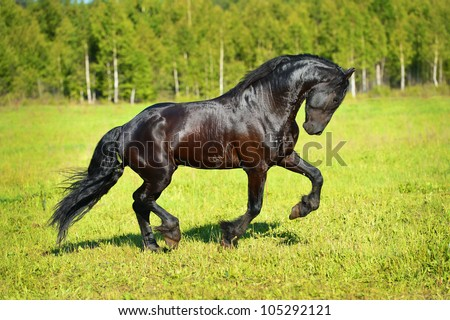Black horse runs gallop on the meadow in summerm, runs to the right