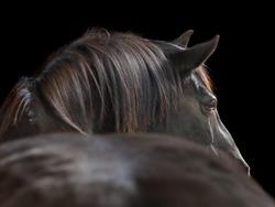 Black horse, shot from behind, isolated on black studio background.