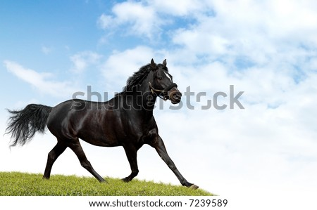 black horse trots - stock photo