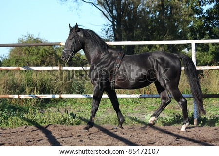 Black horse with bridle trotting