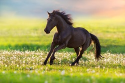 Black horse with long mane run free in summer meadow