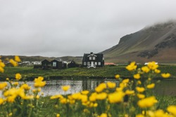 black house on green hill in Iceland with yellow field flowers on foreground