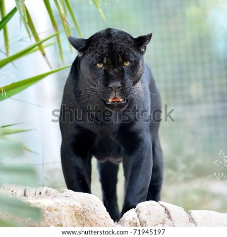 black jaguar - stock photo