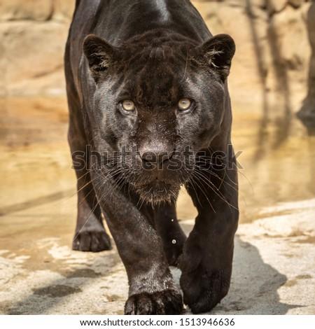 Black Jaguar head on  #1513946636