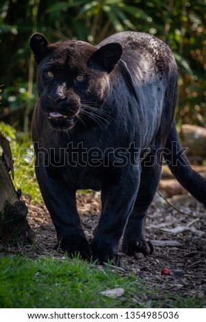Black Jaguar (Panther) #1354985036