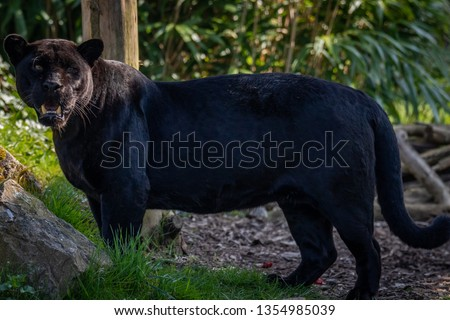 Black Jaguar (Panther) #1354985039