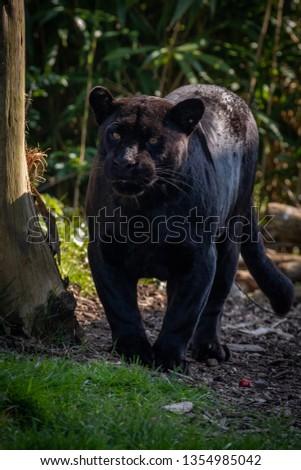 Black Jaguar (Panther) #1354985042