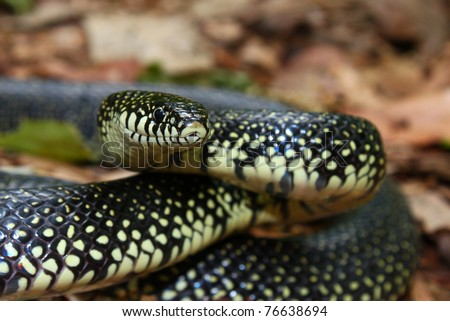 Black Kingsnake (Lampropeltis getula) at Monte Sano State Park - Alabama