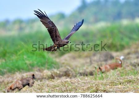Black kite bird (Milvus migrans) is catching a rat in a rice field, Thailand. Foto stock ©