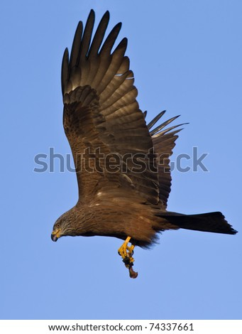 Black Kite flying with hunt at the blue sky