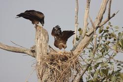 black kite (Milvus migrans) bird of prey pair nesting on the tree top