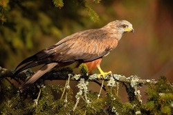 Black Kite, Milvus migrans, brown bird of prey sitting on spruce tree branch, animal in the habitat. Wildlife scene from nature.