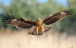 Black Kite on landing