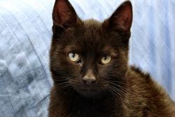 Black Kitten. Four Months Little Black Cat. Tomcat.