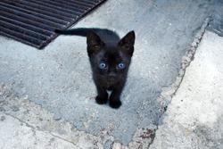Black Kitten. Six Weeks Little Tomcat.