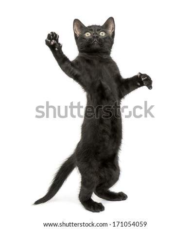 Black kitten standing on hind legs, reaching, pawing up, 2 months old, isolated on white