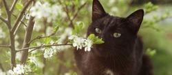 Black kitty sniffing flower. Spring black cat. Aroma.