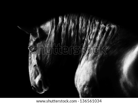 Stock Photo Black kladruby horse portrait on the dark background, black and white photography