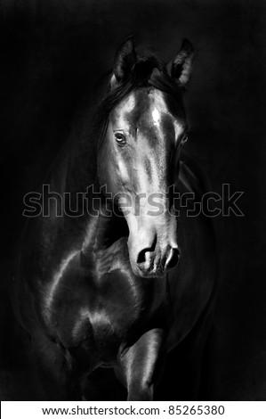 Stock Photo Black kladruby horse portrait on the dark background, black and white photography