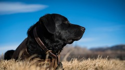 Black Lab Hunting Dog Laying In Field