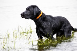 Black lab hunting dog standing in marsh water.