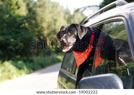 black lab in car window
