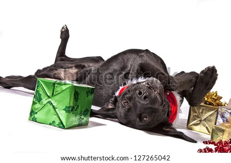 Black Lab type dog playfully posing with Christmas presents.