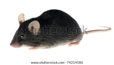 Black laboratory mouse isolated on white. This animal is adult female.