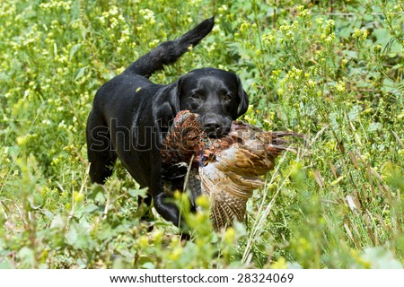 Black Labrador competing in field trial competition