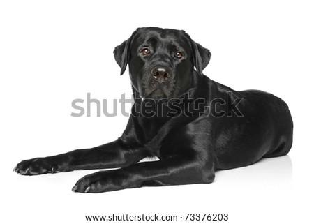 Black Labrador dog lying on a white background