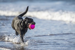 Black labrador dog running towards camera in the sea carrying a ball