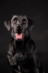 black labrador dog with orange eyes with tongue sticking out, on black background