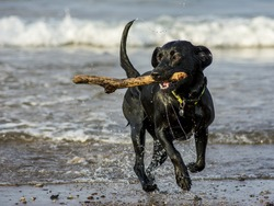 Black Labrador fetching stick from the sea