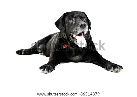 Black labrador isolated on white background