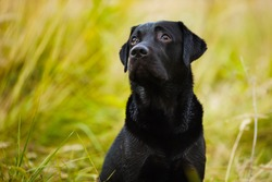 Black labrador looks guiltily at his master