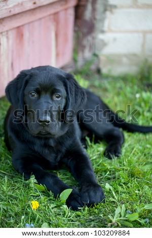 black labrador outdoor - stock photo