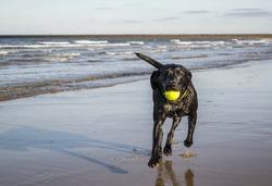 Black Labrador playing fetch the tennis ball on the beach