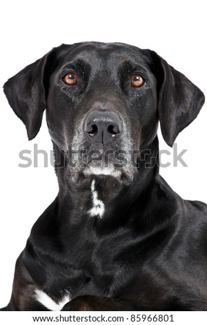 Black labrador portrait isolated on white background