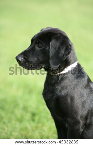 Black Labrador Puppies on Black Labrador In Black Labrador Retriever Find Similar Images