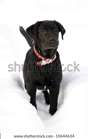 stock photo : Black Labrador puppy in deep snow